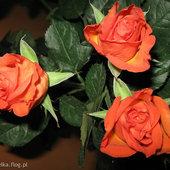 Różyczki