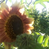 taki fajnnnnnnnnnnny słonecznik ozdobny:D
