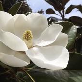 Magnolia Południowa albo Magnolia Grandiflora