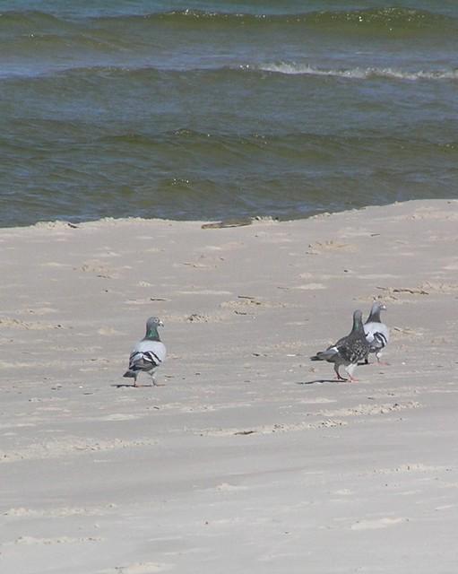 Gołąbki na plaży