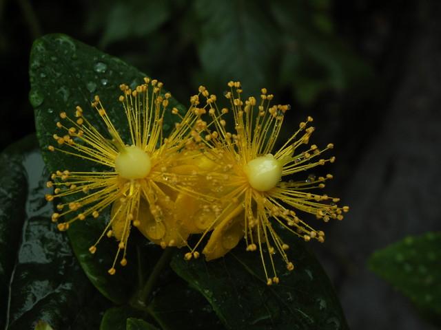 Żółte miotełki dziurawca