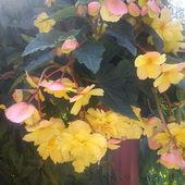 Begonia wisząca