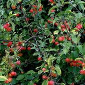 Dziko rosnąca jabłoń rajska