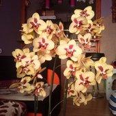 phalaenopsis :)