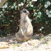 Surykatka(Safari w Libercu)