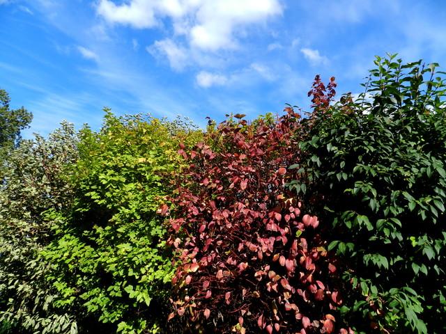 Dereń w jesiennych barwach.