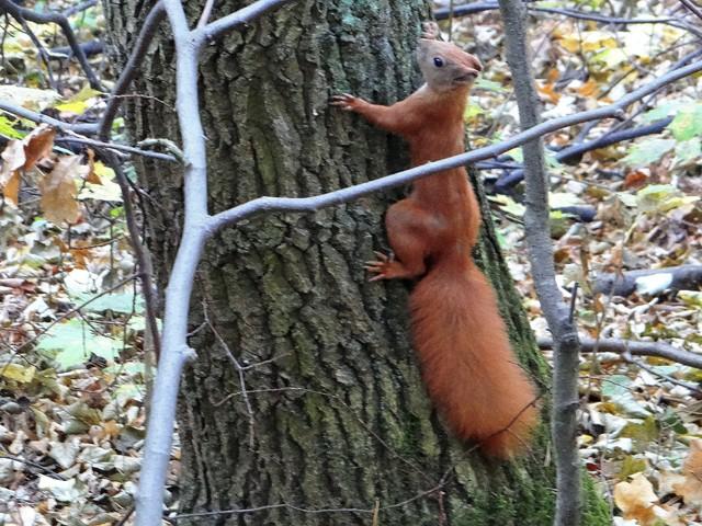 Działkowa wiewiórka
