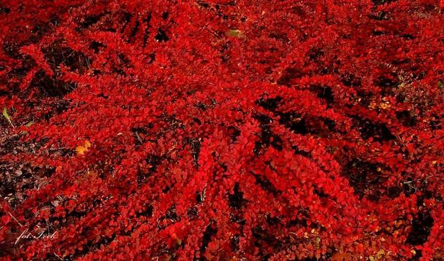 krzew jesienny