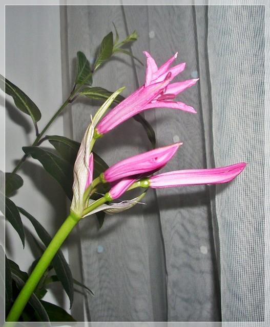 Pierwszy kwiatek neriny