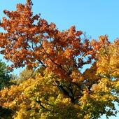 Dąb jesienią.