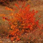 jesienny krzew