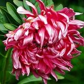 kwiat jesieni