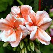 kwiat pelargoni