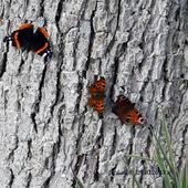 Motyle .