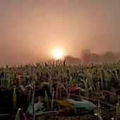 Ozimina o wschodzie słońca