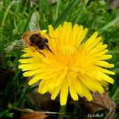 Pszczółka .