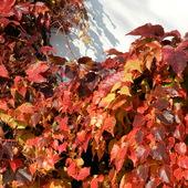 Winobluszcz w jesiennych kolorach.
