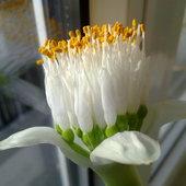 Zakwitł Krasnokwiat białokwiatowy.