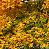 Złote liście klonu.