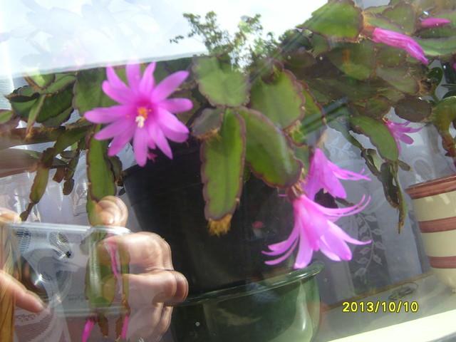 Kaktus wielkanocny  zakwitl w pazdzierniku