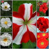 Biało-Czerwone       kwiaty.