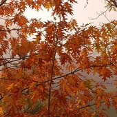 dąb jesienny