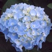 hortensja niebieska