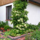 Hortensia pnąca