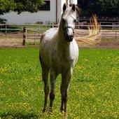 koń, arab