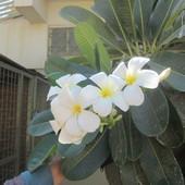 piekne kwiaty- plumeria krolewska