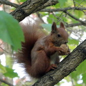 Wiewiórka Basia.