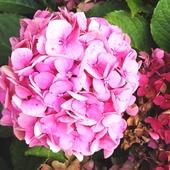 zmiana koloru - hortensja różowa