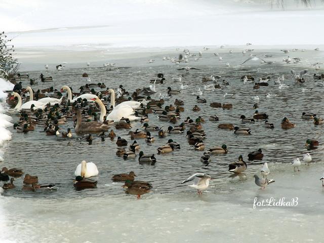 Łabędzie i kaczki.
