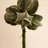 Astrophytum Myriost