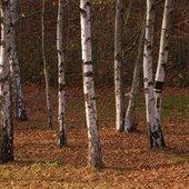 brzozy jesienią.