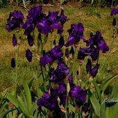 ciemny fiolet