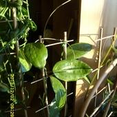 H. Cinnamomifolia Va