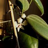 Hoya Calycina Pierws