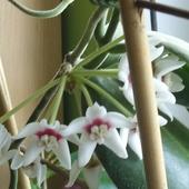 Hoya Calycina W Peln