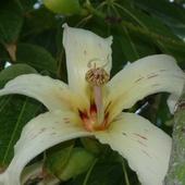 Kwiat z kolczastego drzewa...