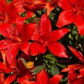 lilie czerwone
