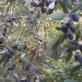 Oliwki z Włoch.