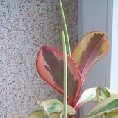 poperomia magnoliolistna