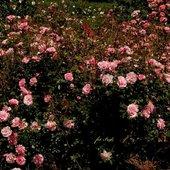 róże dla Wszystkich