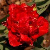 tulipan, makro