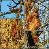 Wiewiórka ,nowy gość w moim ogrodzie..