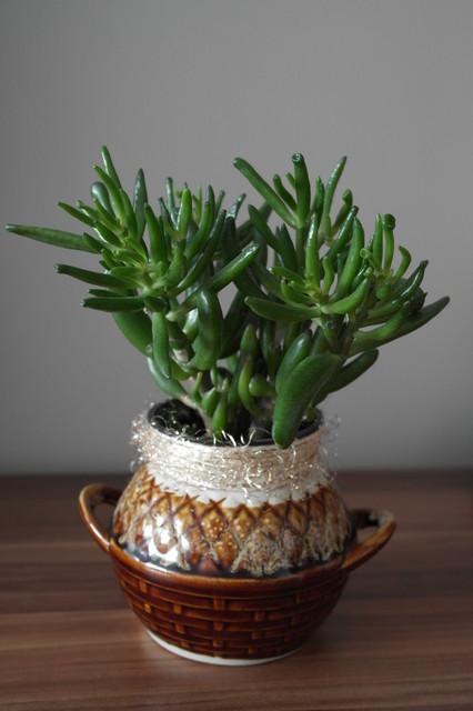 GRUBOSZ Drzewiasty Hobbit  (Crassula portulacea var. cristata )