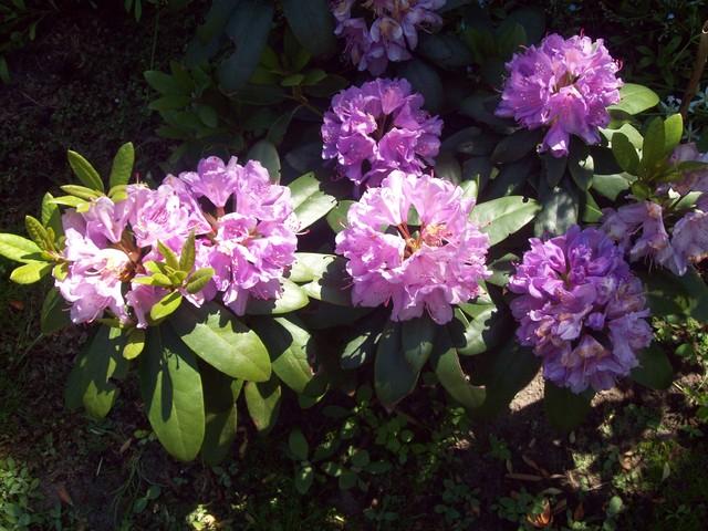 kolejny rododendron