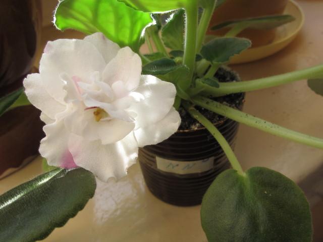 Moje fiołki kwitną jak zwariowane