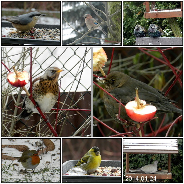 Ptaki w moim ogrodzie.